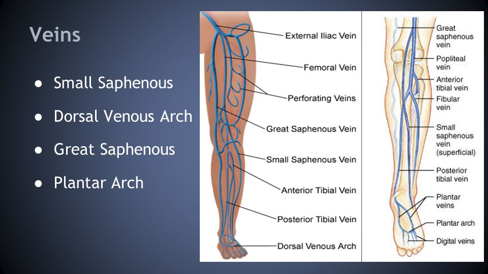 Veins ● Small Saphenous ● Dorsal Venous Arch ● Great Saphenous ● Plantar Arch