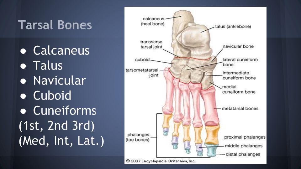 Tarsal Bones ● Calcaneus ● Talus ● Navicular ● Cuboid ● Cuneiforms (1st, 2nd 3rd) (Med, Int, Lat.)