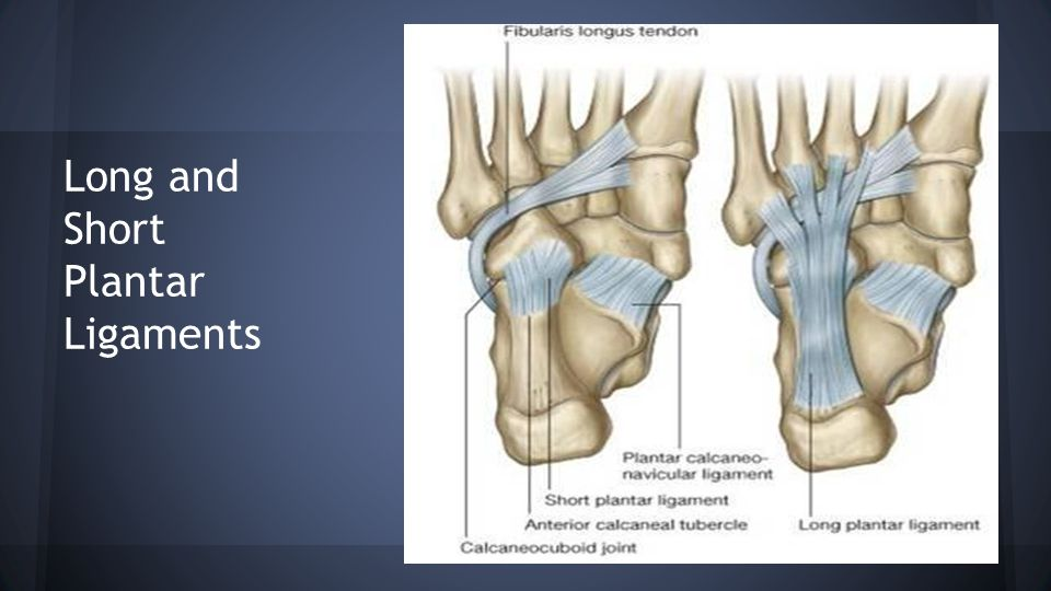 Long and Short Plantar Ligaments