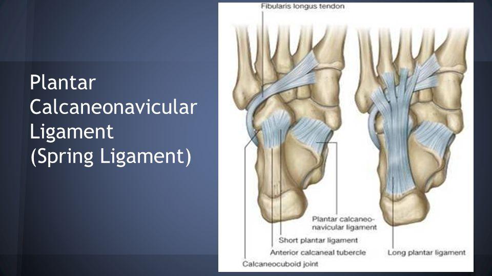 Plantar Calcaneonavicular Ligament (Spring Ligament)