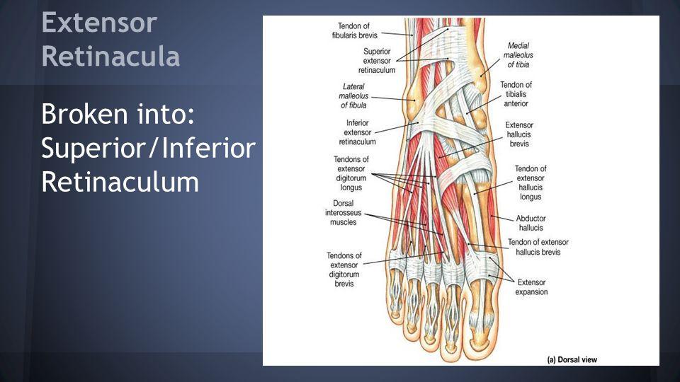 Extensor Retinacula Broken into: Superior/Inferior Retinaculum