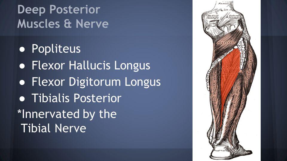 Deep Posterior Muscles & Nerve ● Popliteus ● Flexor Hallucis Longus ● Flexor Digitorum Longus ● Tibialis Posterior *Innervated by the Tibial Nerve
