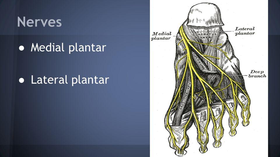 Nerves ● Medial plantar ● Lateral plantar