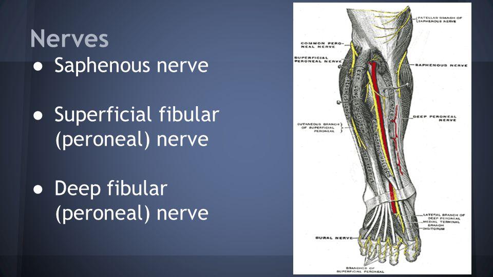 Nerves ● Saphenous nerve ● Superficial fibular (peroneal) nerve ● Deep fibular (peroneal) nerve