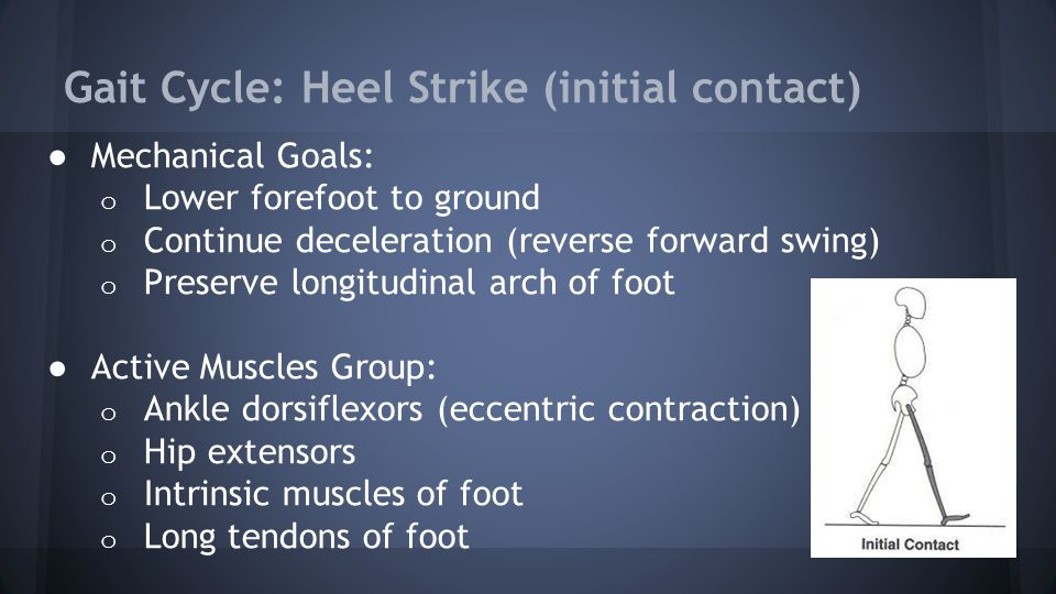 Gait Cycle: Heel Strike (initial contact) ● Mechanical Goals: o Lower forefoot to ground o Continue deceleration (reverse forward swing) o Preserve longitudinal arch of foot ● Active Muscles Group: o Ankle dorsiflexors (eccentric contraction) o Hip extensors o Intrinsic muscles of foot o Long tendons of foot