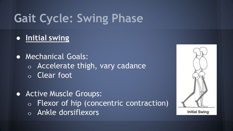 Gait Cycle: Swing Phase ● Initial swing ● Mechanical Goals: o Accelerate thigh, vary cadance o Clear foot ● Active Muscle Groups: o Flexor of hip (con