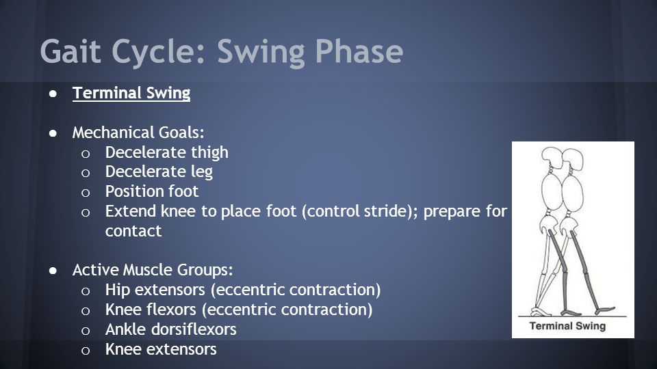 Gait Cycle: Swing Phase ● Terminal Swing ● Mechanical Goals: o Decelerate thigh o Decelerate leg o Position foot o Extend knee to place foot (control stride); prepare for contact ● Active Muscle Groups: o Hip extensors (eccentric contraction) o Knee flexors (eccentric contraction) o Ankle dorsiflexors o Knee extensors