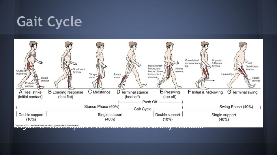 Gait Cycle Figure 5.43.Gait Cycle. Essential Clinical Anatomy Textbook