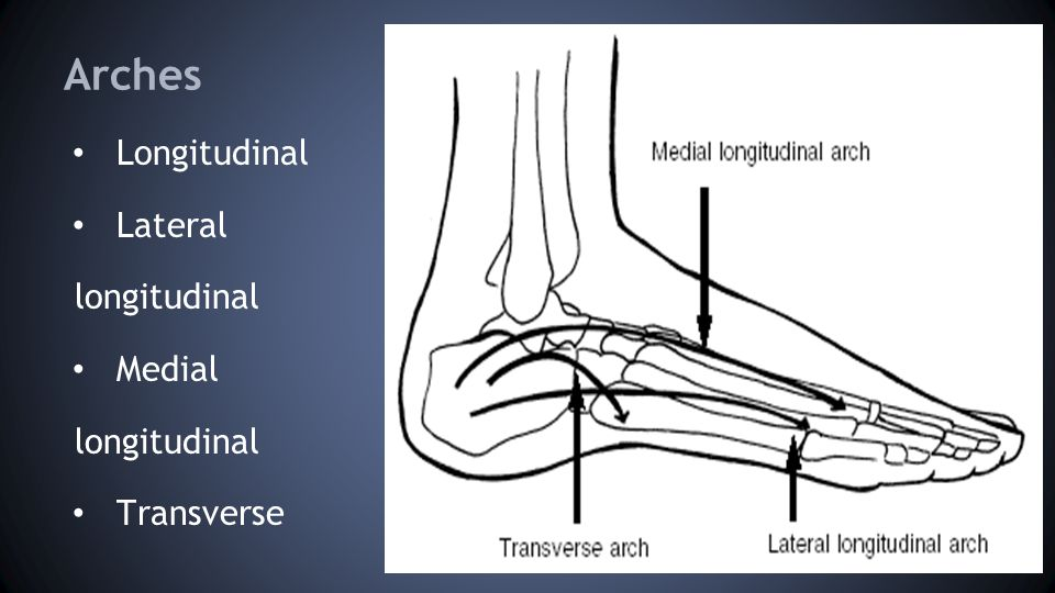 Arches Longitudinal Lateral longitudinal Medial longitudinal Transverse