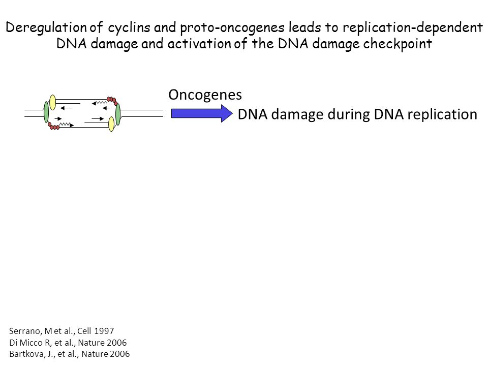Deregulation of cyclins and proto-oncogenes leads to replication-dependent DNA damage and activation of the DNA damage checkpoint Oncogenes Serrano, M et al., Cell 1997 Di Micco R, et al., Nature 2006 Bartkova, J., et al., Nature 2006 DNA damage during DNA replication