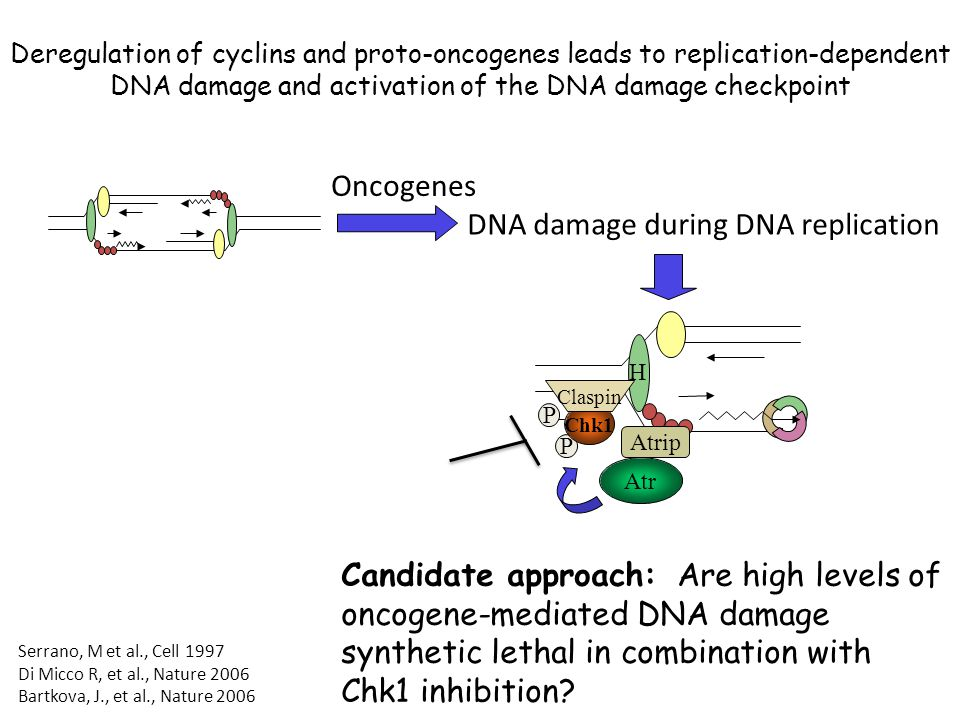 Deregulation of cyclins and proto-oncogenes leads to replication-dependent DNA damage and activation of the DNA damage checkpoint Oncogenes Serrano, M et al., Cell 1997 Di Micco R, et al., Nature 2006 Bartkova, J., et al., Nature 2006 P P H Atr Atrip Chk1 Claspin DNA damage during DNA replication Candidate approach: Are high levels of oncogene-mediated DNA damage synthetic lethal in combination with Chk1 inhibition?