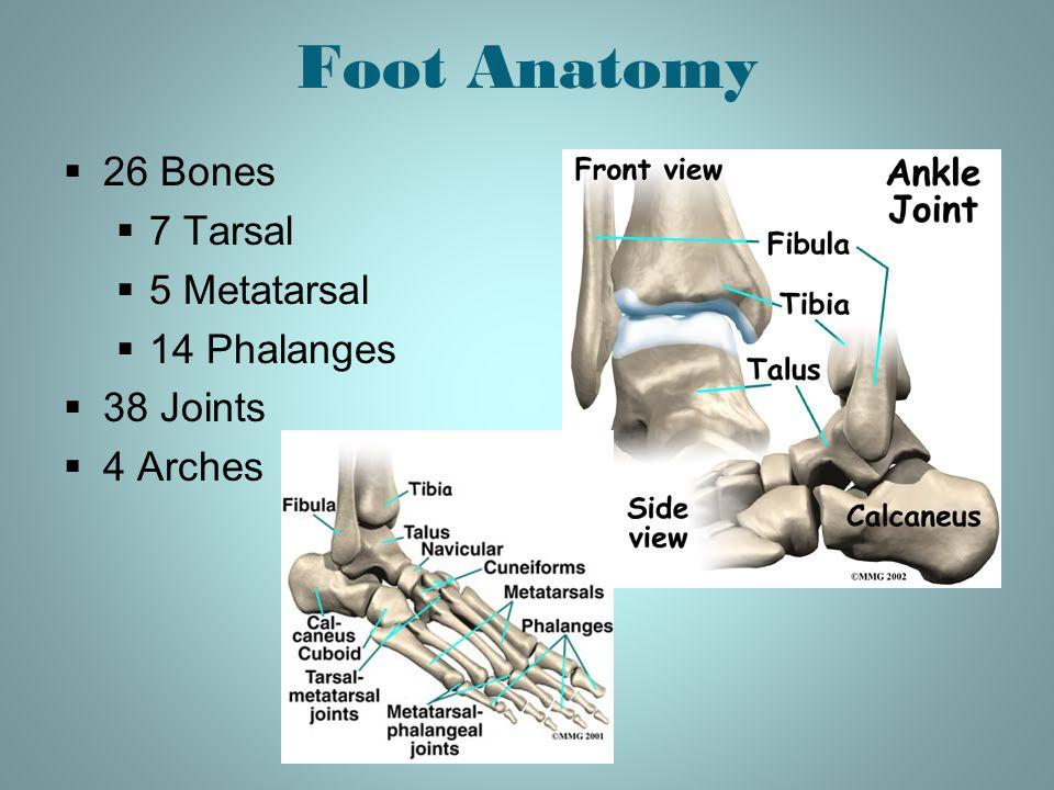 Foot Anatomy  26 Bones  7 Tarsal  5 Metatarsal  14 Phalanges  38 Joints  4 Arches