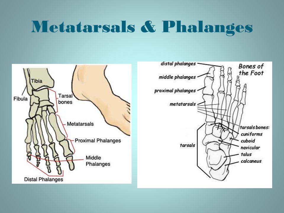 Metatarsals & Phalanges