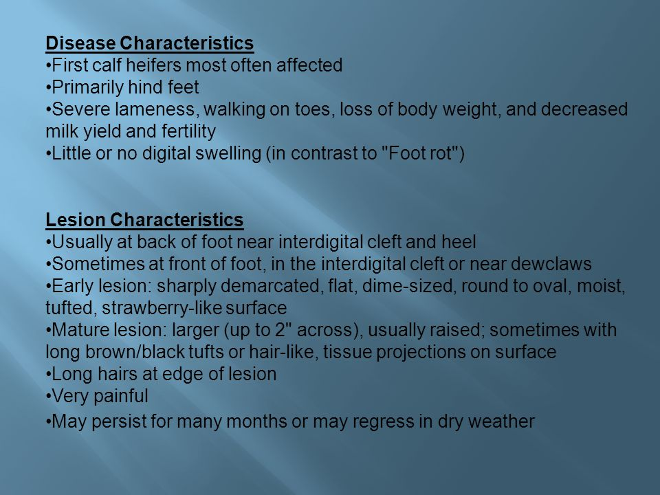 Disease Characteristics First calf heifers most often affected Primarily hind feet Severe lameness, walking on toes, loss of body weight, and decreased milk yield and fertility Little or no digital swelling (in contrast to Foot rot ) Lesion Characteristics Usually at back of foot near interdigital cleft and heel Sometimes at front of foot, in the interdigital cleft or near dewclaws Early lesion: sharply demarcated, flat, dime-sized, round to oval, moist, tufted, strawberry-like surface Mature lesion: larger (up to 2 across), usually raised; sometimes with long brown/black tufts or hair-like, tissue projections on surface Long hairs at edge of lesion Very painful May persist for many months or may regress in dry weather