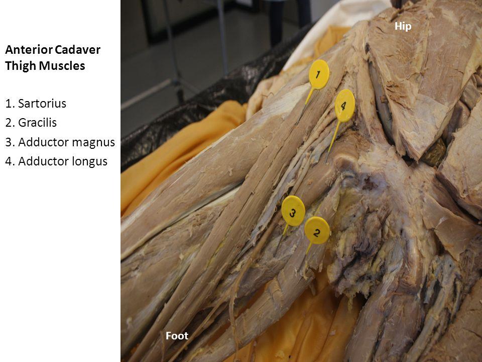 Anterior Cadaver Thigh Muscles 1.Sartorius 2. Rectus femoris 3.