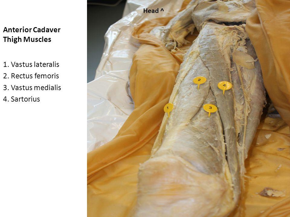 Anterior Cadaver Thigh Muscles 1. Gracilis 2. Adductor longus 3. Sartorius 4. Rectus femoris Head ^