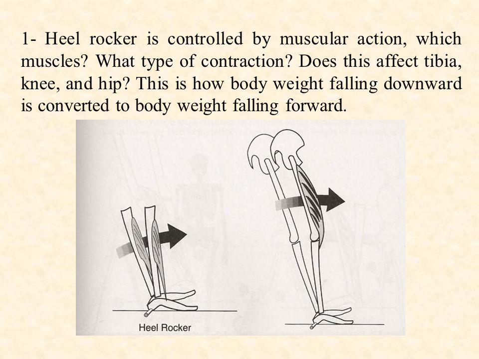 1- Heel rocker is controlled by muscular action, which muscles.