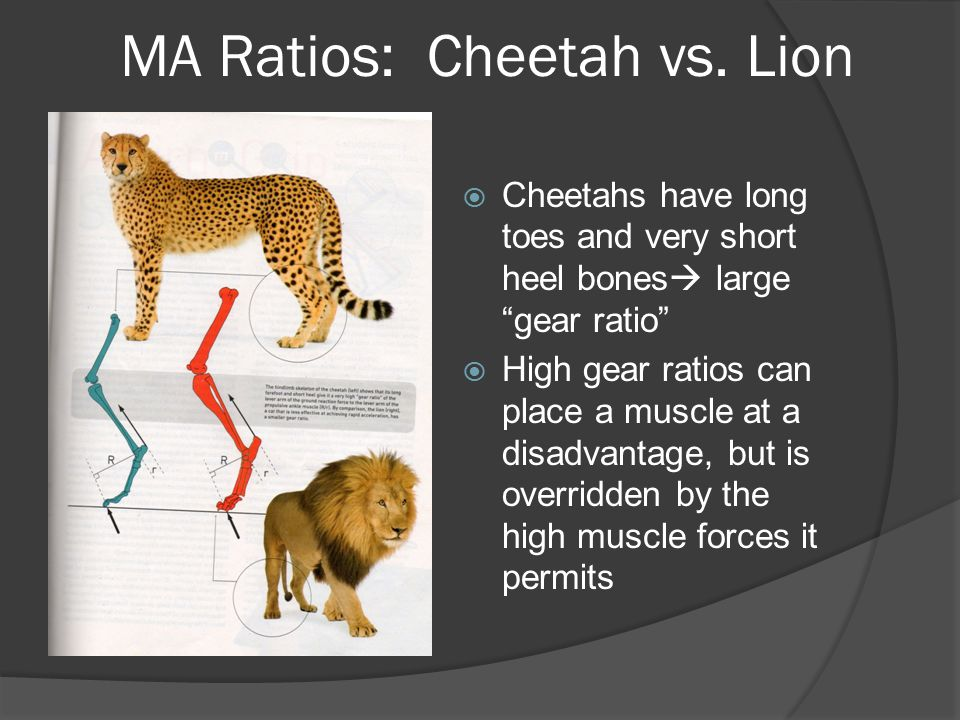 """MA Ratios: Cheetah vs. Lion  Cheetahs have long toes and very short heel bones  large """"gear ratio""""  High gear ratios can place a muscle at a disadv"""
