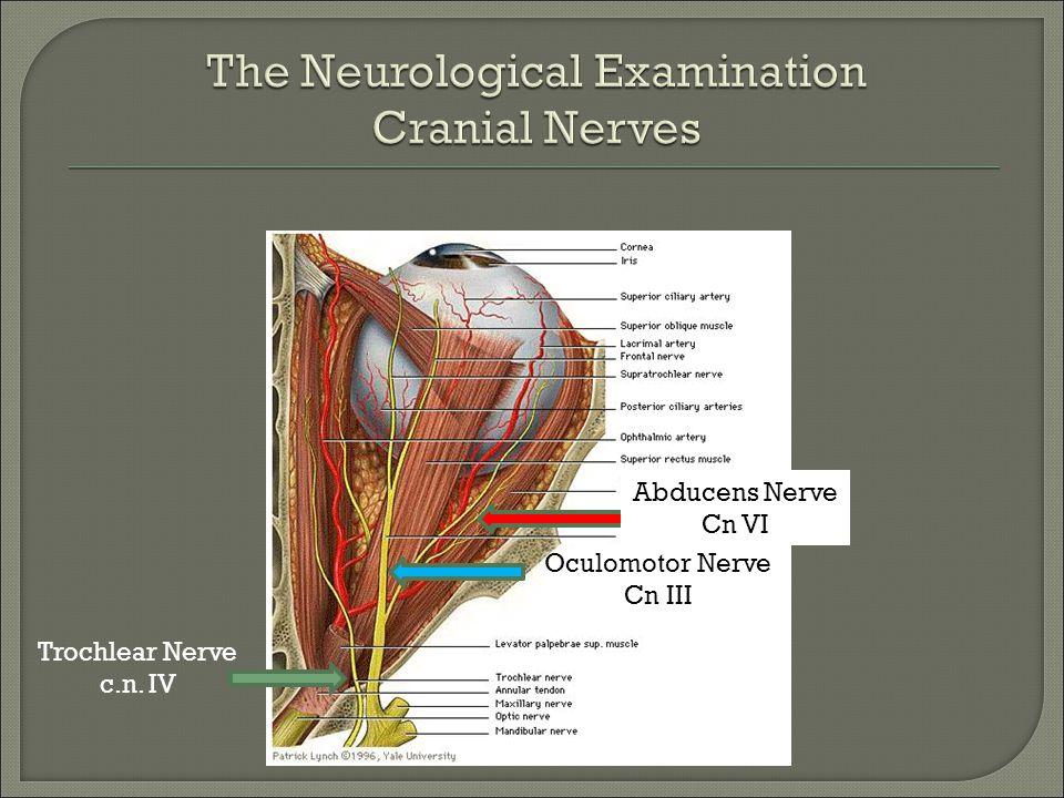 Trochlear Nerve c.n. IV Oculomotor Nerve Cn III Abducens Nerve Cn VI