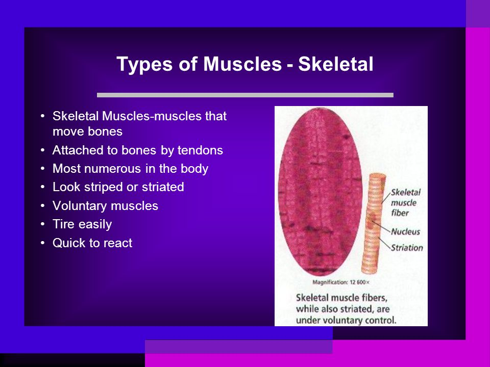 Types of Muscles - Skeletal Skeletal Muscles-muscles that move bones Attached to bones by tendons Most numerous in the body Look striped or striated V