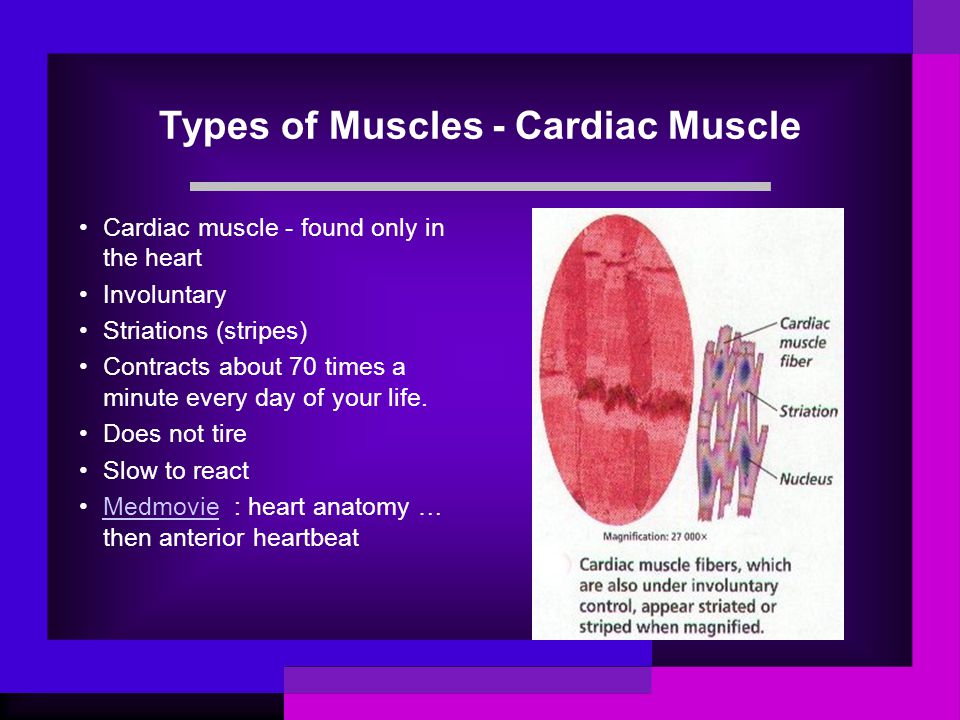 Types of Muscles - Cardiac Muscle Cardiac muscle - found only in the heart Involuntary Striations (stripes) Contracts about 70 times a minute every da