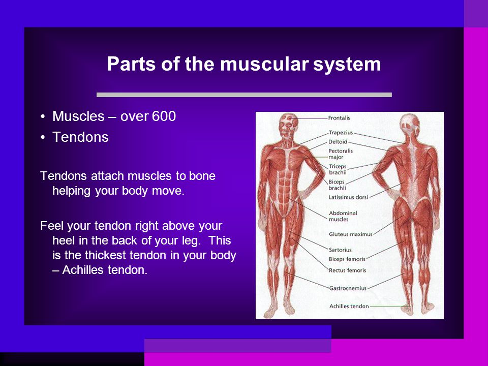 Parts of the muscular system Muscles – over 600 Tendons Tendons attach muscles to bone helping your body move. Feel your tendon right above your heel