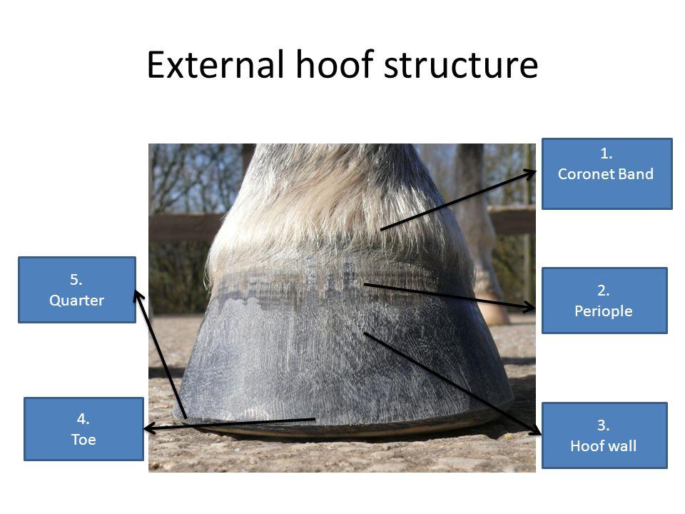 External hoof structure 1. Coronet Band 2. Periople 3. Hoof wall 4. Toe 5. Quarter