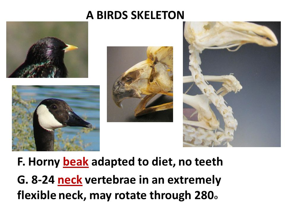 A BIRDS SKELETON F. Horny beak adapted to diet, no teeth G. 8-24 neck vertebrae in an extremely flexible neck, may rotate through 280 o