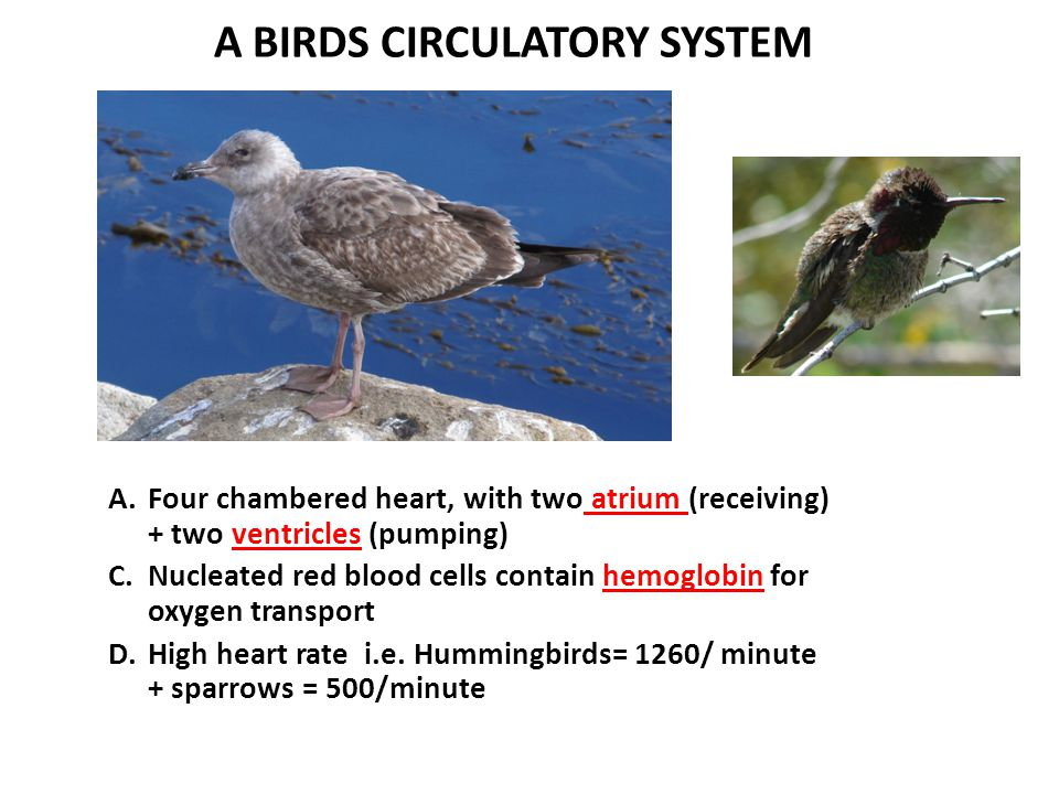 A BIRDS CIRCULATORY SYSTEM A.Four chambered heart, with two atrium (receiving) + two ventricles (pumping) C.Nucleated red blood cells contain hemoglob