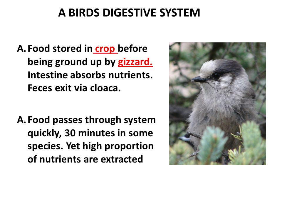 A BIRDS DIGESTIVE SYSTEM A.Food stored in crop before being ground up by gizzard.