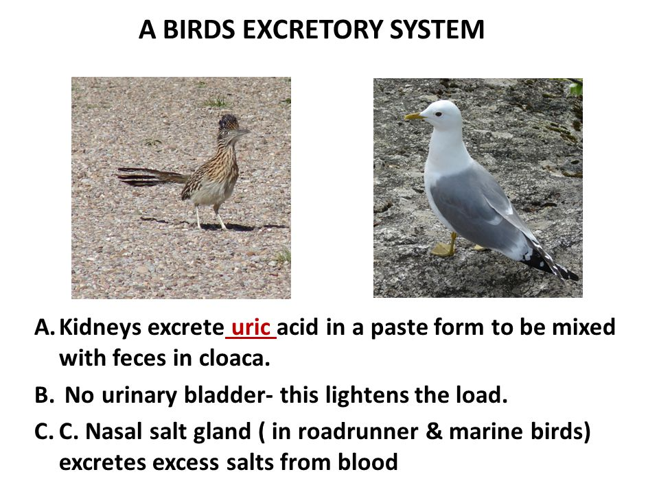 A BIRDS EXCRETORY SYSTEM A.Kidneys excrete uric acid in a paste form to be mixed with feces in cloaca. B. No urinary bladder- this lightens the load.