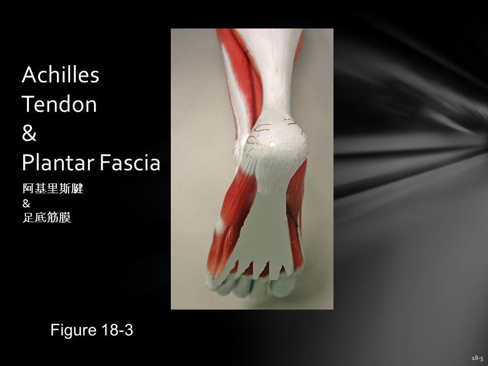 18-5 Achilles Tendon & Plantar Fascia Figure 18-3 阿基里斯腱 & 足底筋膜