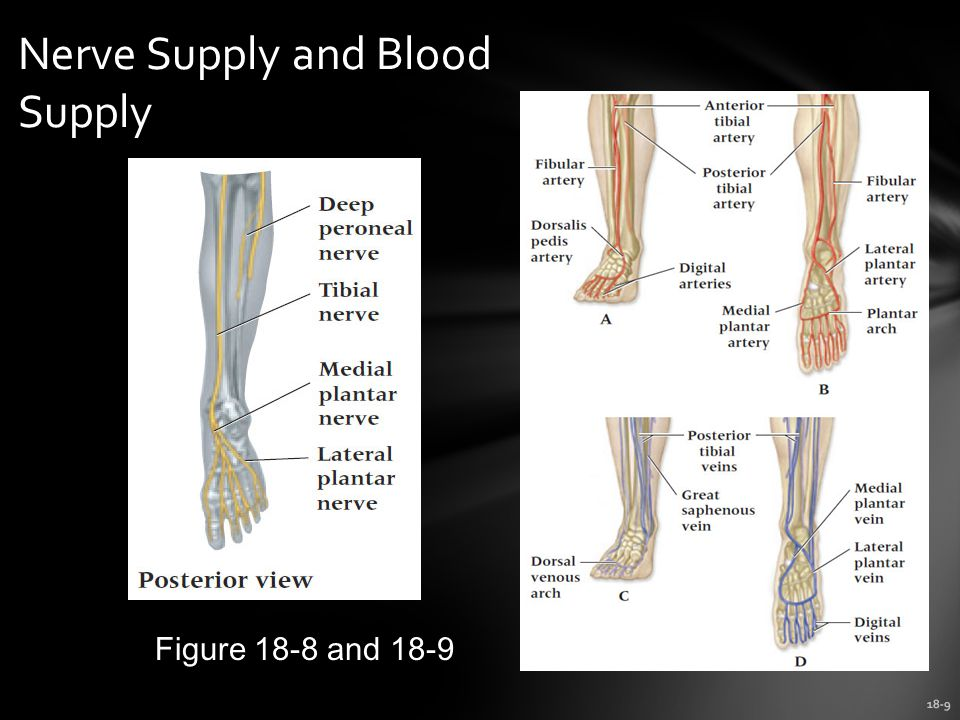 18-9 Nerve Supply and Blood Supply Figure 18-8 and 18-9