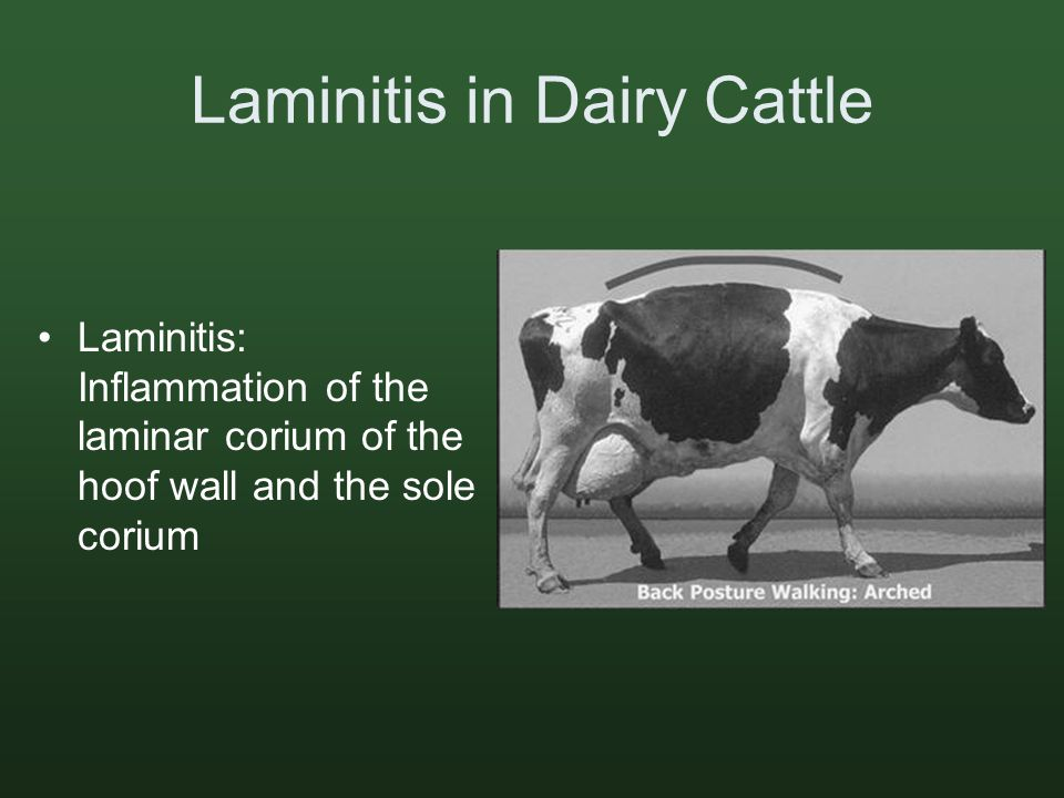 Laminitis in Dairy Cattle Laminitis: Inflammation of the laminar corium of the hoof wall and the sole corium