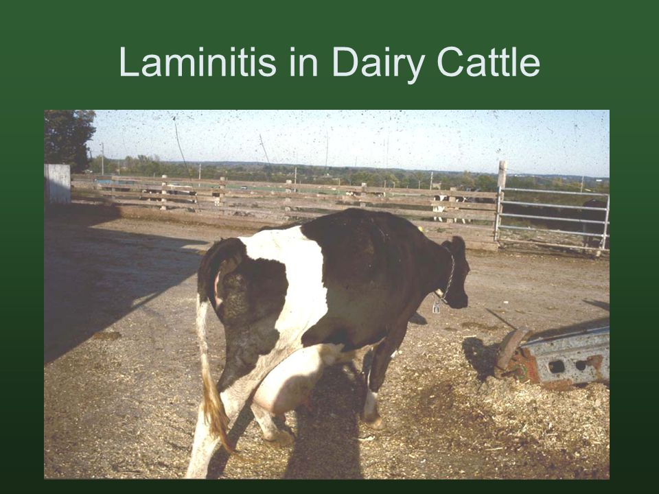 Laminitis in Dairy Cattle
