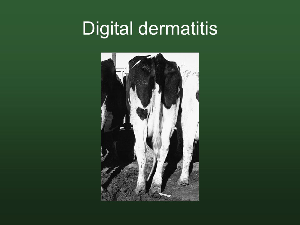 Digital dermatitis