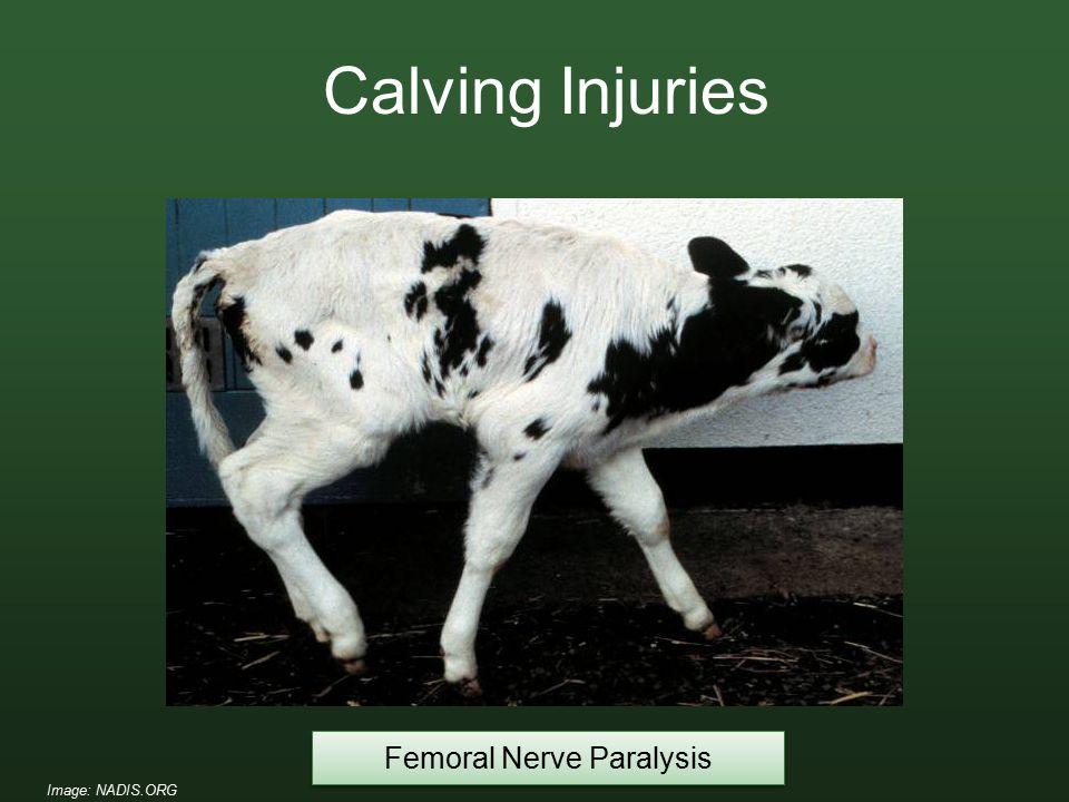 Femoral Nerve Paralysis Calving Injuries Image: NADIS.ORG