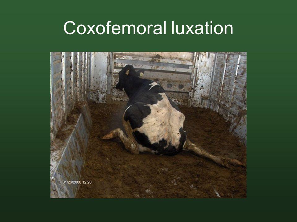 Coxofemoral luxation