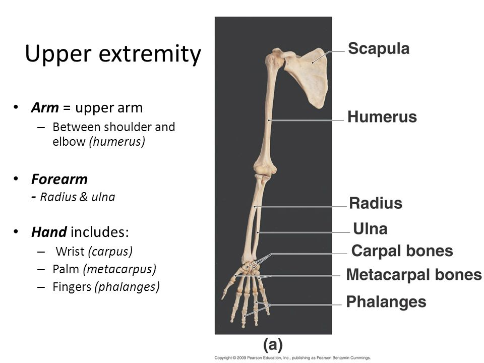 Upper extremity Arm = upper arm – Between shoulder and elbow (humerus) Forearm - Radius & ulna Hand includes: – Wrist (carpus) – Palm (metacarpus) – F