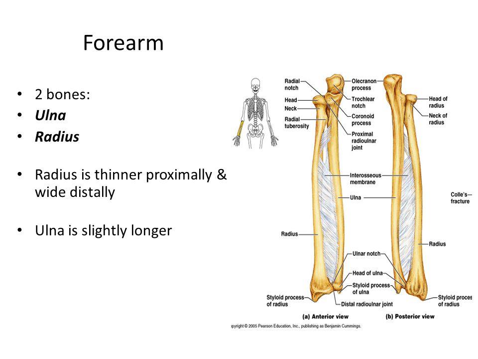 Forearm 2 bones: Ulna Radius Radius is thinner proximally & wide distally Ulna is slightly longer