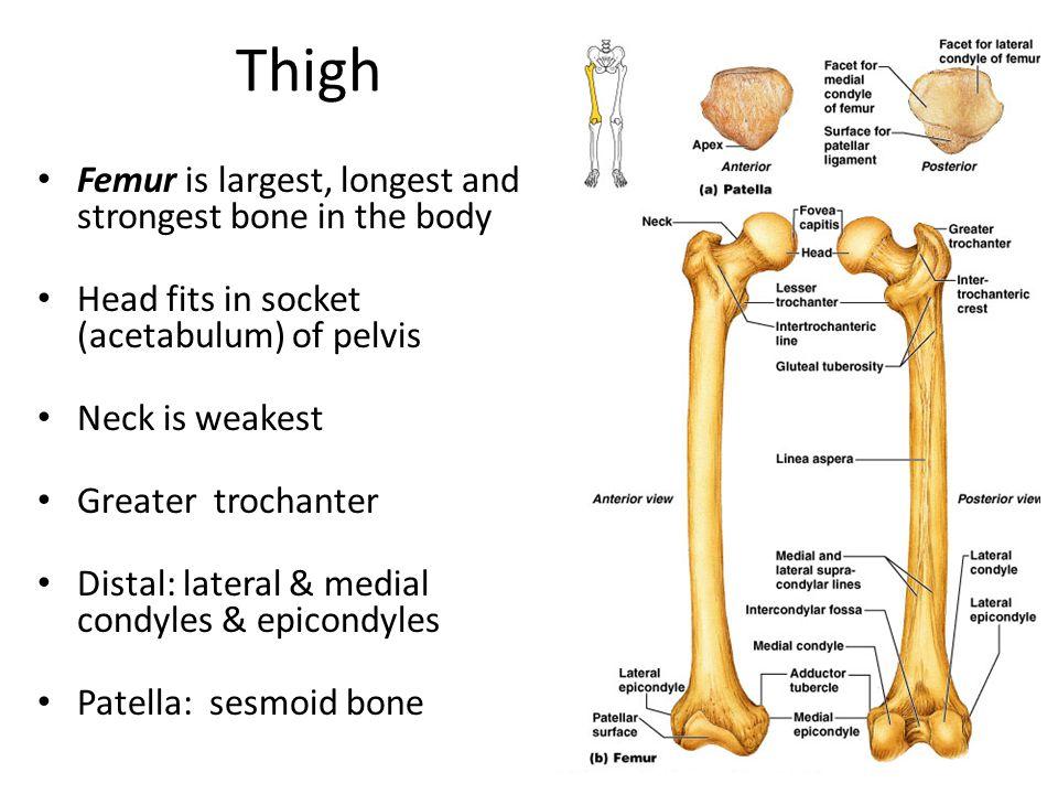 Thigh Femur is largest, longest and strongest bone in the body Head fits in socket (acetabulum) of pelvis Neck is weakest Greater trochanter Distal: lateral & medial condyles & epicondyles Patella: sesmoid bone