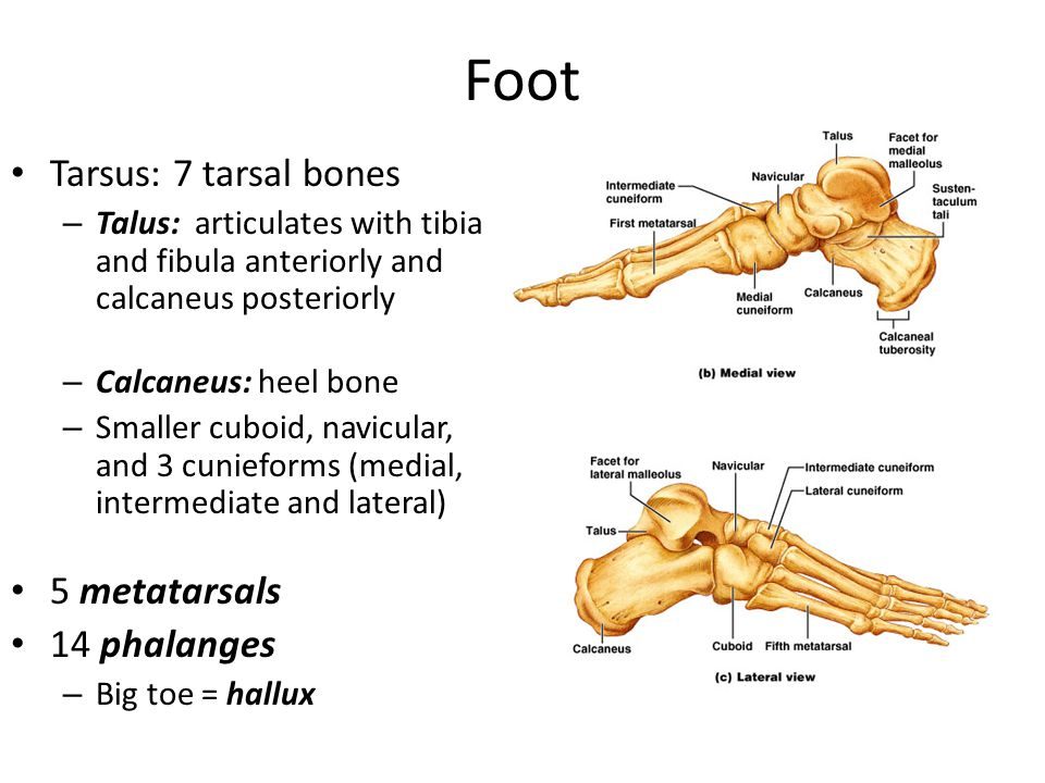 Foot Tarsus: 7 tarsal bones – Talus: articulates with tibia and fibula anteriorly and calcaneus posteriorly – Calcaneus: heel bone – Smaller cuboid, navicular, and 3 cunieforms (medial, intermediate and lateral) 5 metatarsals 14 phalanges – Big toe = hallux