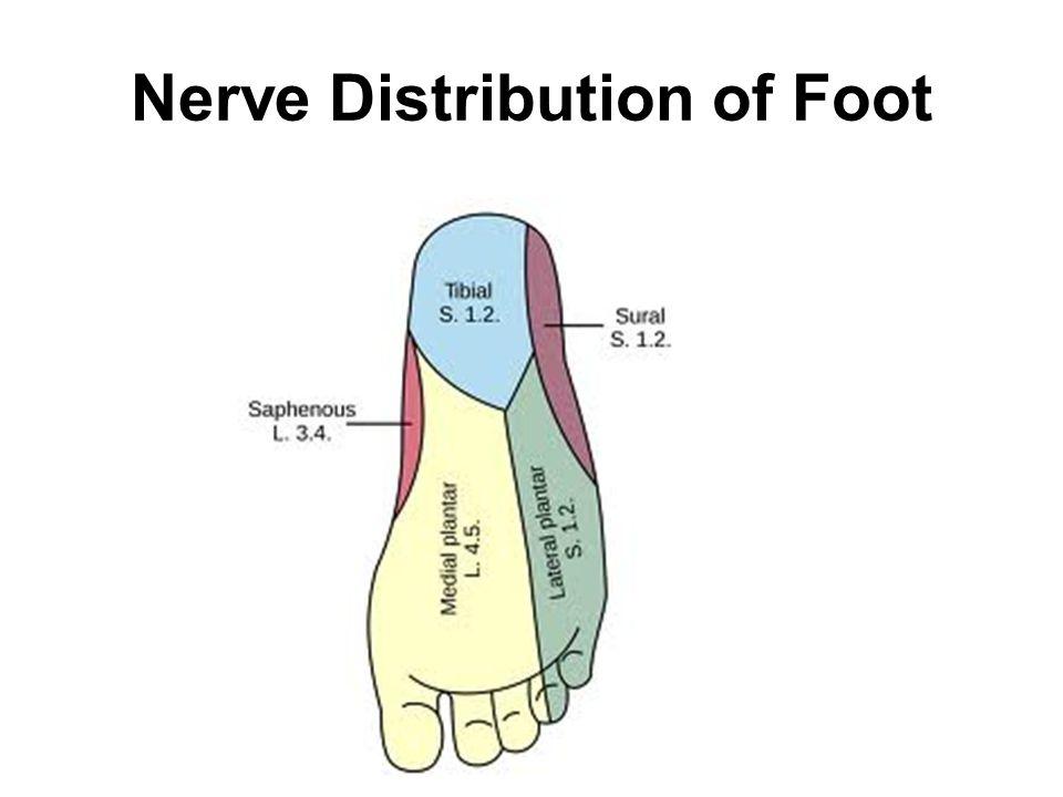 Nerve Distribution of Foot