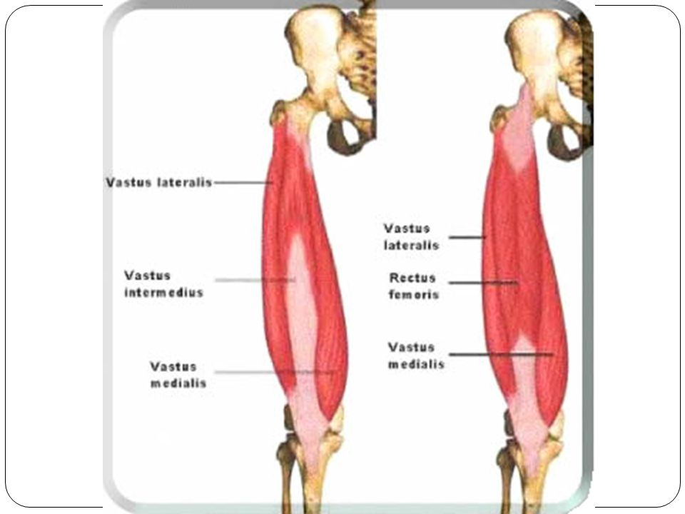 Hamstring Muscles 3 muscles make up the hamstring Biceps Femoris Semimembranosus Semitendinosus They are located on the posterior side of the leg Function: Flexes the knee and extends the thigh