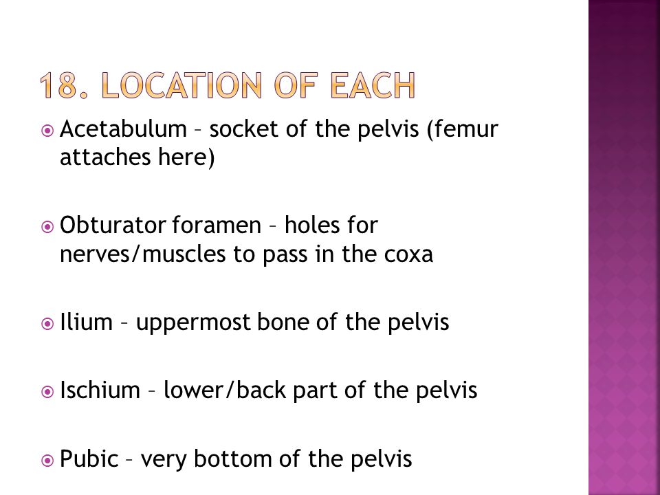  Acetabulum – socket of the pelvis (femur attaches here)  Obturator foramen – holes for nerves/muscles to pass in the coxa  Ilium – uppermost bone