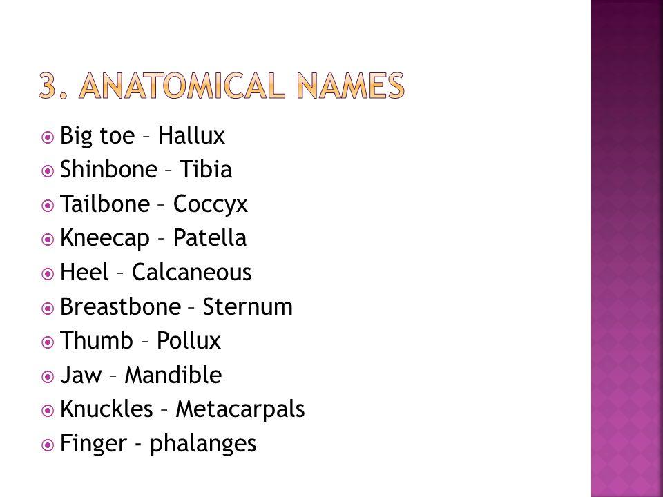  Big toe – Hallux  Shinbone – Tibia  Tailbone – Coccyx  Kneecap – Patella  Heel – Calcaneous  Breastbone – Sternum  Thumb – Pollux  Jaw – Mand