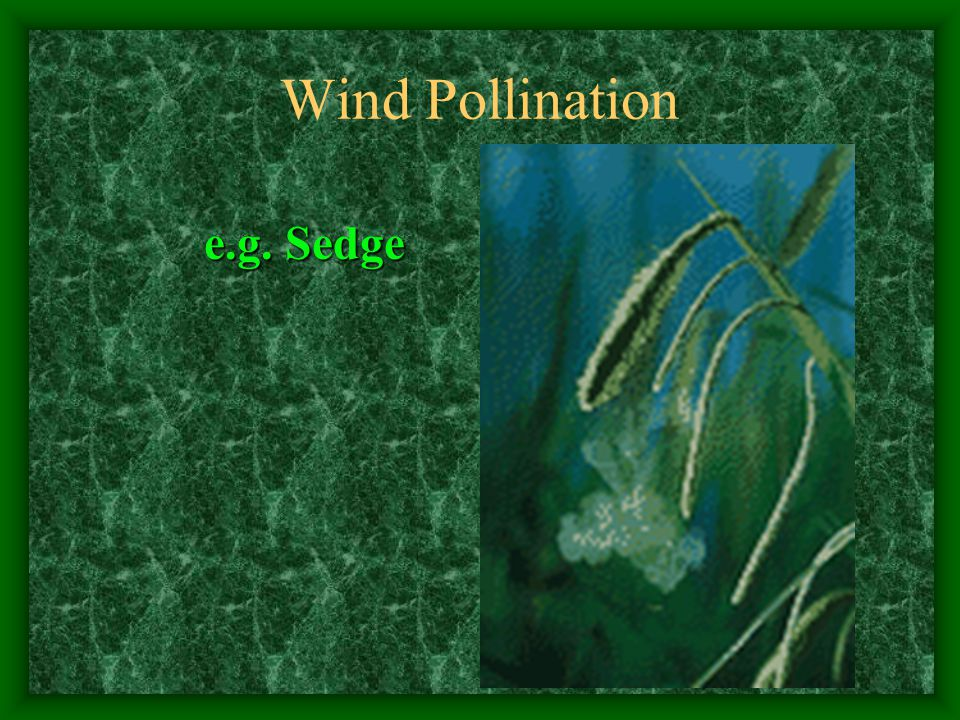 Wind Pollination e.g. Sedge