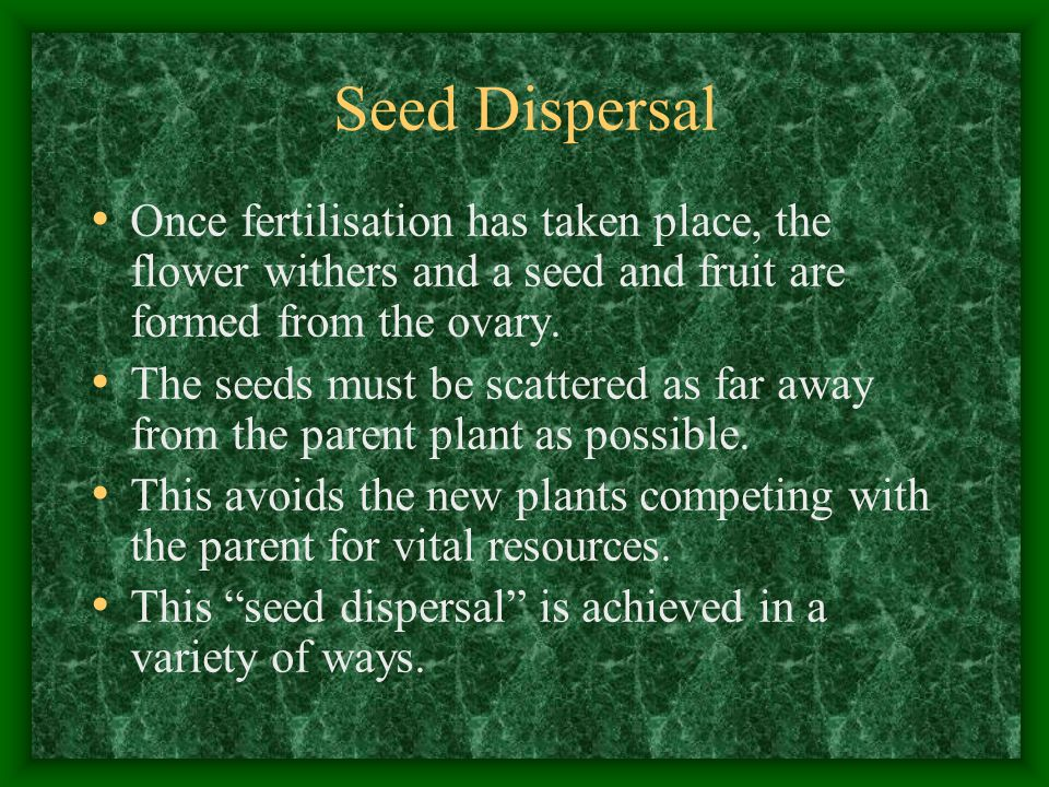 Seed Dispersal Once fertilisation has taken place, the flower withers and a seed and fruit are formed from the ovary.