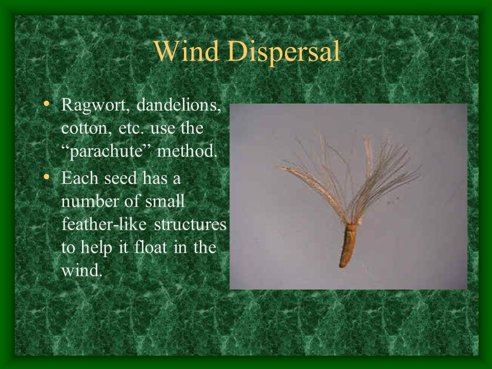 Wind Dispersal Ragwort, dandelions, cotton, etc. use the parachute method.
