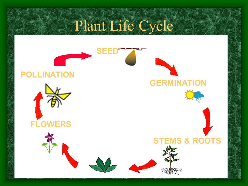 Plant Life Cycle SEED GERMINATION STEMS & ROOTS FLOWERS POLLINATION